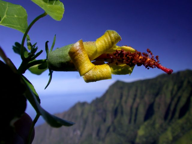 Hibscadelphus woodii, a relative of Hibiscus known only from Kauai, was thought to have gone extinct. In 2019, scientists at the National Tropical Botanical Garden rediscovered this species on the cliffs of Kauai with the help of a drone.