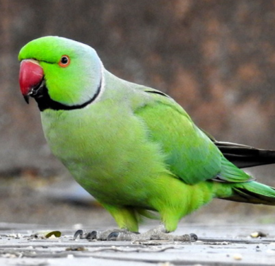 Denby Fawcett: These Beautiful Birds Spreading On Oahu Are Loud, Fruit-Stealing, Pooping Menaces