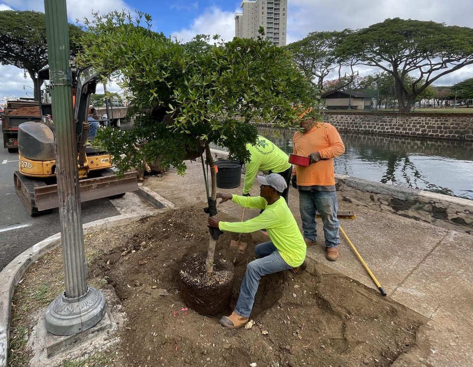 Planting crews with the Honolulu Department of Parks and Recreation's Division of Urban Forestry, plant trees in Honolulu Chinatown, Thursday, October 14, 2021. Prior to this project other beautification efforts have been conducted throughout the area. (Photo: Ronen Zilberman/Civil Beat)